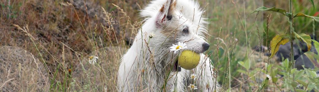 Eine Terrierhündin sichert ihren Ball beim Training zu Jagdverhalten in der Hundeschule