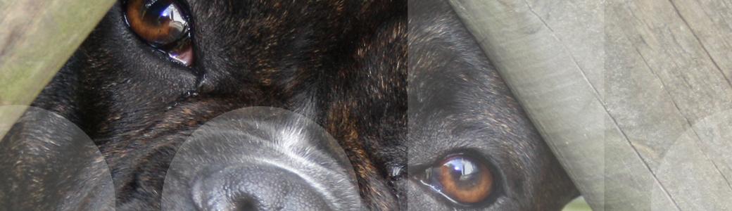 Ein Hund bewacht sein Territorium durch einen Zaun