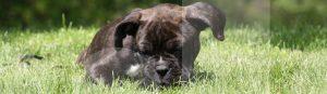 Ein Welpe entdeckt die Wiese in der Welpenschule von Franklin & DOGS